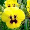 Як продовжити цвітіння віола