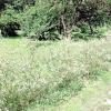 Як за допомогою верби прикрасити ставок і сад