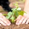 Як садити полуницю і коли її пересаджувати, щоб отримати рясний урожай в наступному сезоні