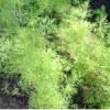 Як садити кріп. кріп кущовий - сорти та характеристика