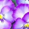 Як доглядати за фіалками, щоб вони рясно цвіли?