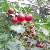 Як прискорити плодоношення дерев