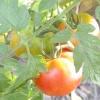 Як прискорити появу перших плодів на деревах