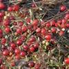 Як вирощувати журавлину, саджанці журавлини з живців