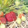 Як вирощувати полуницю без хімії
