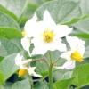 Картопля / solanum tuberosum