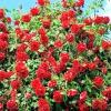 Як виростити троянди в своєму саду