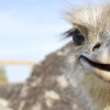 Як виростити страусів в домашніх умовах і що для цього потрібно