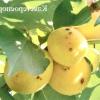 Як захистити від хвороб кісточкові культури: вишню, сливу, абрикос, аличу