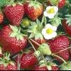 Які особливості у вирощуванні ремонтантної полуниці?