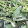 Каланхое пір'ясте (лікувальне) - фото, властивості, рецепти, застосування