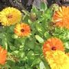Календула в городі і на клумбі. користь і вирощування квітів нагідок