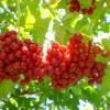 Калина червона (звичайна) - властивості, застосування, рецепти