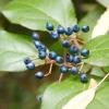 Калина з перламутровими плодами