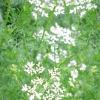 Коріандр посівний (кінза) - властивості, користь, рецепти