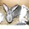 Годування та відгодівлю кроликів: як скласти правильний раціон
