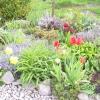 Куди зникають цибулини тюльпанів?