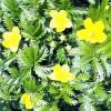 Лапчатка гусяча (Гусячий лапка) - лікувальні властивості, рецепти, застосування