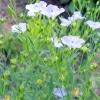 Льон посівної - опис, використання, лікувальні властивості, рецепти