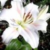 Лілія -   невинна королева саду