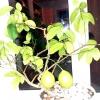 Лимони на підвіконні