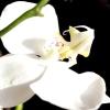 Улюблена орхідея