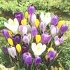 Цибулини квітів - чарівники вашого саду