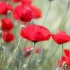 Маки - ніжне чарівність полів. посадка, вирощування, догляд