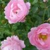 Морозостійкі троянди канадської селекції