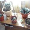 Наші кактуси