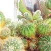 Чи не сосна він і не ялинка, хоч зелений і в голках. а живе він на віконці в разноцветненьком козубі. (Кактус)
