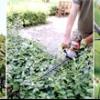 Обрізаємо дерева і чагарники: навіщо і за якими правилами