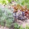Однорічні, дворічні та багаторічні пряні трави