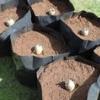 Оригінальний метод вирощування картоплі