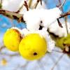 Осінній догляд за яблунею