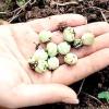 Особливості збору та зберігання насіння