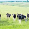 Особливості утримання корови в особистому господарстві