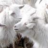 Особливості утримання кіз на приватному подвір'ї