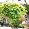 Особливості догляду за штамбовими рослинами