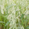 Овес посівний - лікувальні властивості, рецепти, застосування