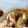 Пекінські, Руанські, крижні, качки Муларди та інші породи вирощуємо без проблем!