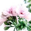 Пеларгонії в змішаному квітнику