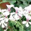 Пеларгонія: розмножуємо насінням