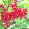 Перспективні сорти червоної смородини з білими плодами