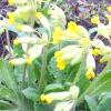 Первоцвіт весняний (лікарський), примула - властивості, застосування