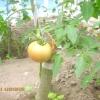 Перший помідор