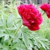 Півонія трав'янистий / paeonia lactiflora