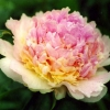 Півонії: распберрі Санде (raspberry sundae), даун пинк (dawn pink), пепермінт (peppermint), хохлома