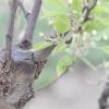Плодові дерева: що робити із зимовими ранами?