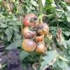 Погано наливаються томати, причина